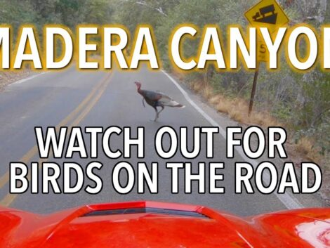 Travel-Driving-up-Madera-Canyon-with-birdswild-turkeys-on-the-road