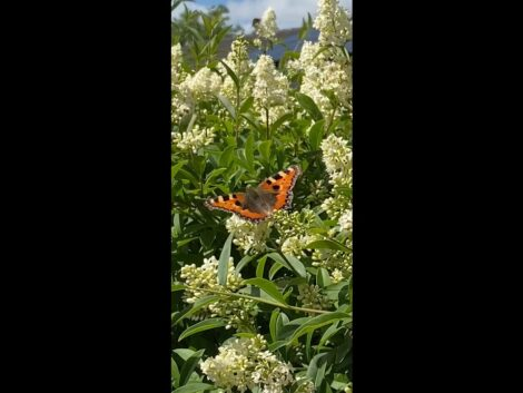 Hedge-invaded-by-butterflies-and-bees-shorts